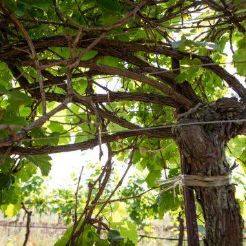 Graupert Naturwein Bio